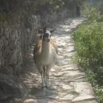 インカ道を歩くアルパカ